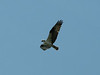 Pandion haliaetus, Osprey, (NL: Visarend) (near Anacortes, Washington)