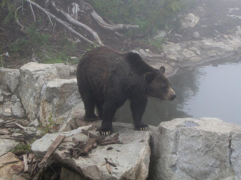 Ursus arctos horribilis, Grizzly Bear (Grouse Mountain near Vancouver, Canada)