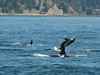 Orcinus orca, Orca or Killer Whale (San Juan Archipelago USA-Canadian border)(photo K.J.)