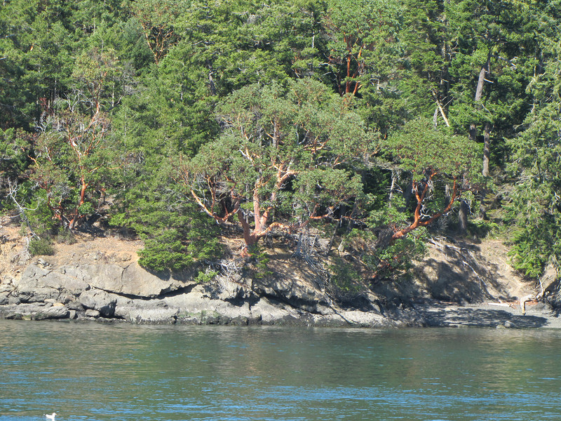 Arbutus menziesii, San Juan Islands, Washington and Britisch Columbia