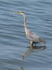 Ardea herodias, Great Blue Heron (near Annacortes, Washington)