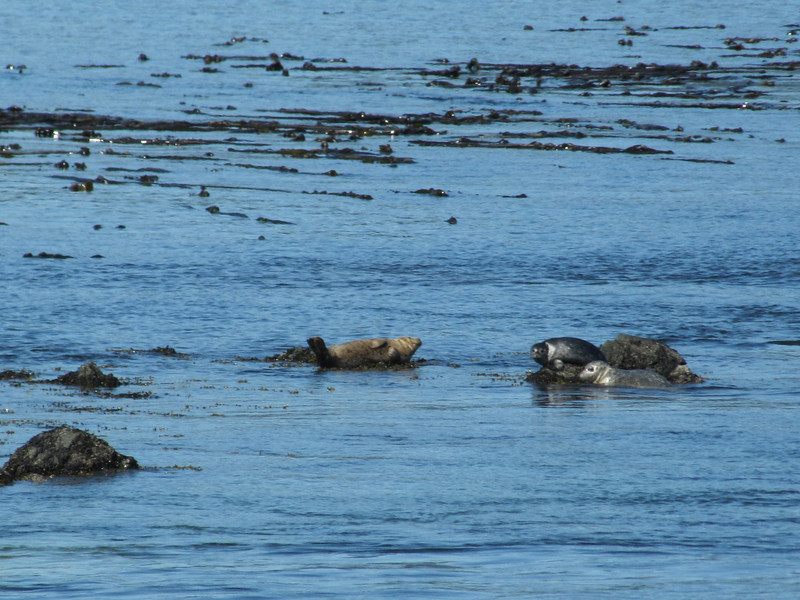 Phoca vitulina ssp. richardii, Harbor Seal