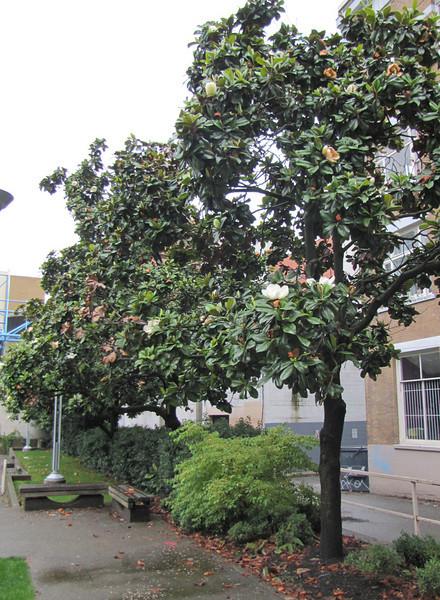 Magnolia grandiflora in a park in Vancouver, Canada