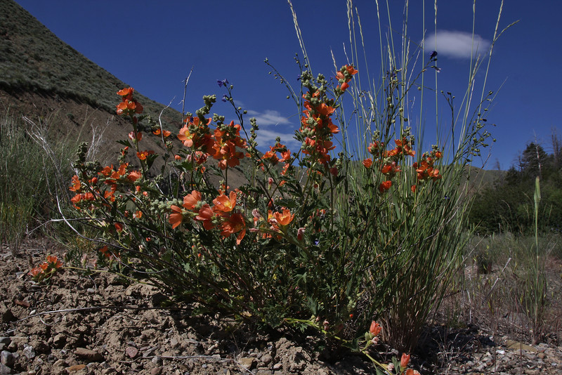 Sphaeralcea coccinea, Scarlet Globemallow, Wasatch Range