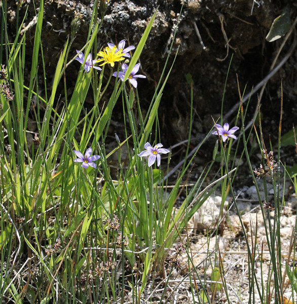 Sisyrinchium idahoense, Idaho blue-eyed Grass, Firehole River.