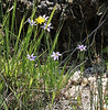 Sisyrinchium idahoense, Idaho blue-eyed Grass, Firehole River.