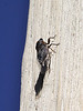 Platypedia putnami, Putman's Cicada, male. Teton National Forest.