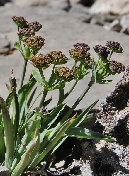 Bupleurum americanum, American Thorow-wax. Bridger-Teton National Forest