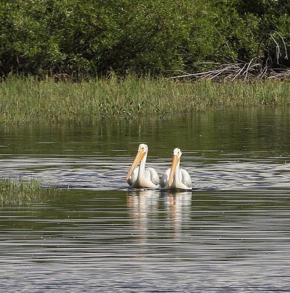Pelecanus erythrrohynchos, American White Pelican.