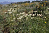 Erigeron umbellatum, Sulphur Buckwheat, Teton National Forest.