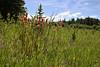 Castilleja linariifolia, Wyoming paintbrush, Buffalo Fork, Bridger-Teton National Forest.