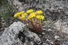 Sedum lanceolatum, Lance-Leaved Stonecrop.