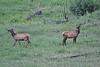 """Cervus elaphus, Elk """"Wapiti"""""""