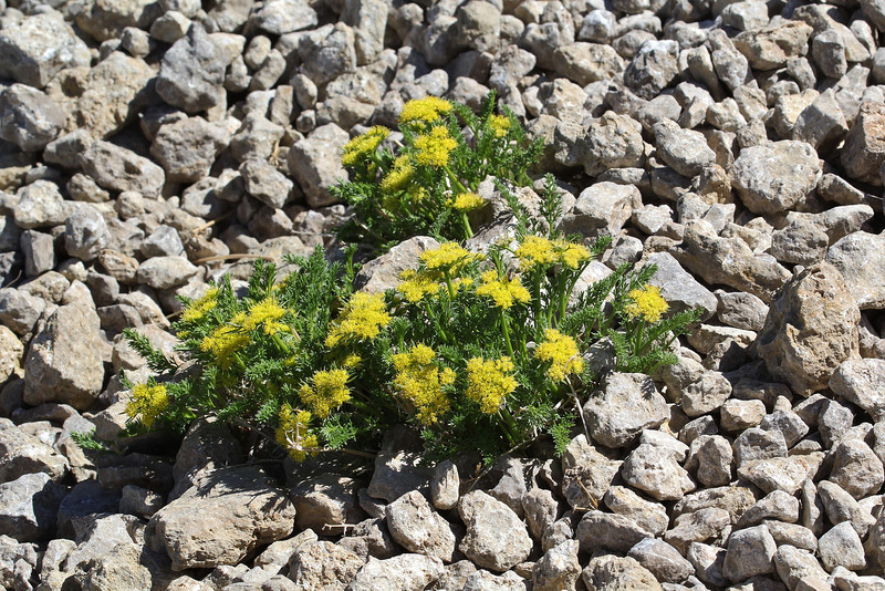 Musineon tenuifolium, Wildparsley or Cymopterus hendersonii,(syn. Pteryxia hendersonii). Bridger-Teton National Forest