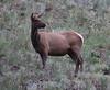 """Cervus elaphus, female of Elk or """"Wapiti""""."""