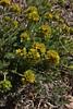 Ivesia gordonii, Bridger-Teton National Forest