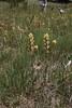 Castilleja miniata, Common Indian Paintbrush, Firehole River.