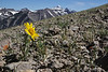 Hymenoxys grandiflora, Alpine sunflower with Grand Teton 4197m.