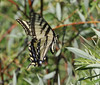 Papilio rutulus, Western Tiger Swallowtail on willow. Buffalo Fork, Bridger-Teton National Forest.