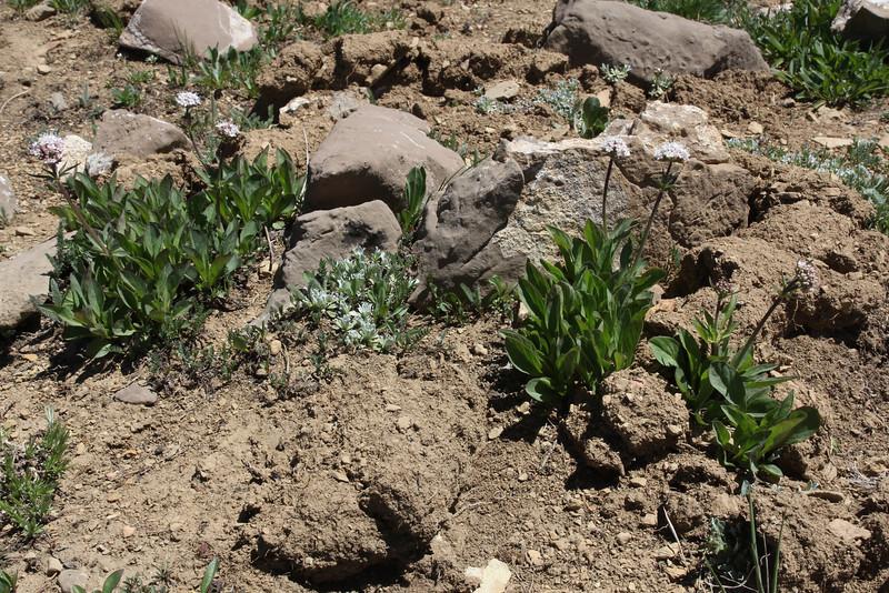 Valeriana acutiloba, Subalpine Valerian, Bridger-Teton National Forest