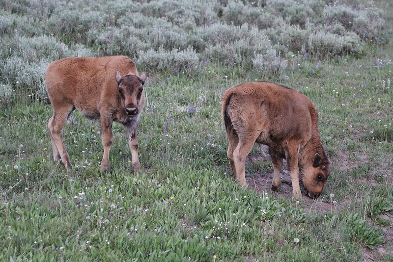 """Bison bison, calfs of the American Bison """"Buffalo""""."""