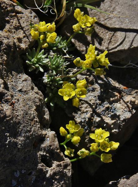 Draba crassifolia, Bridger-Teton National Forest