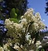 Ceanothus velutinus, Buckbrush Ceanothus.