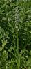 Habenaria dilatata, (syn. Platanthera dilatata), White Bog Orchid.