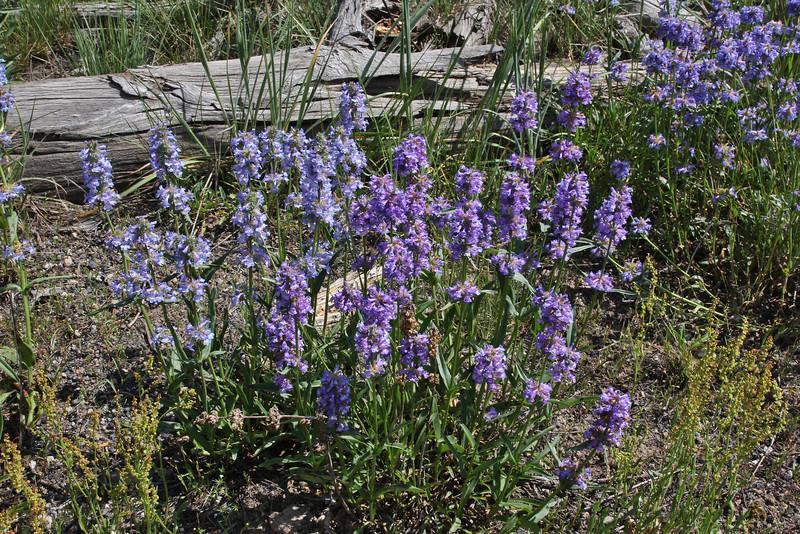 Penstemon procerus, Small-flowered Beardtongue.
