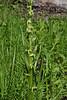 Platanthera hyperborea, (syn. Habernaria hyperborea), Northern green rein-orchid.