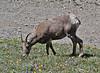 Ovis canadensis, Juvenile male Bighorn Sheep, Mount Washburn 3152m.
