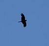 Corvus corax, Common Raven, Bridger-Teton National Forest.