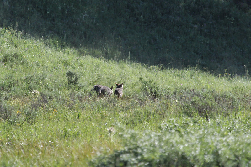 Canis lupus, Gray Wolf.