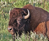 "Bison bison, American Bison ""Buffalo""."