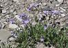Polemonium pulcherrimum var. pulcherrinum, Showy Jacob's Ladder, Mount Washburn 3152m.