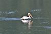 Pelecanus erythrrohynchos, American White Pelican. Buffalo Fork, Bridger-Teton National Forest.