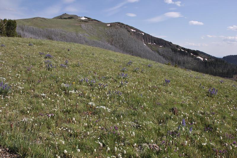 Polygonum (Bistorta) bistortoides, American Bistort, with Mount Washburn 3152m.