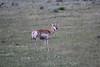 Antilocapra americana, Pronghorn antilope, female.