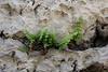 Woodsia glabella ?, Smooth cliff-fern, Bridger-Teton National Forest.