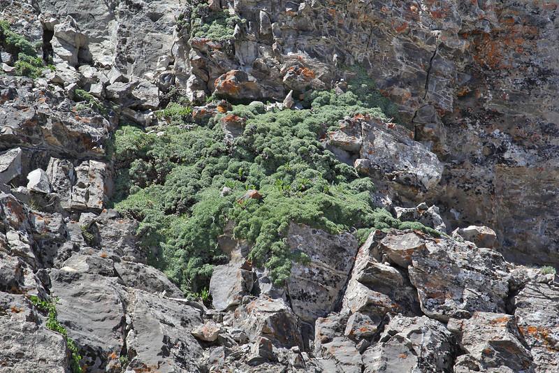 Petrophytum caespitosum, Mat Rock Spirea, Bridger-Teton National Forest