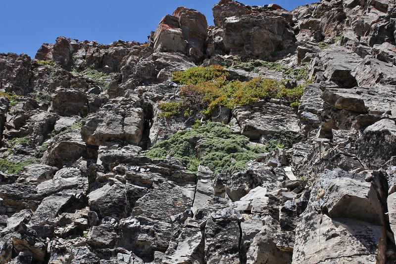 Petrophytum caespitosum, Mat Rock Spirea,Bridger-Teton National Forest