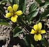 Viola nuttallii, Yellow Prairie Violet, Mount Washburn 3152m.