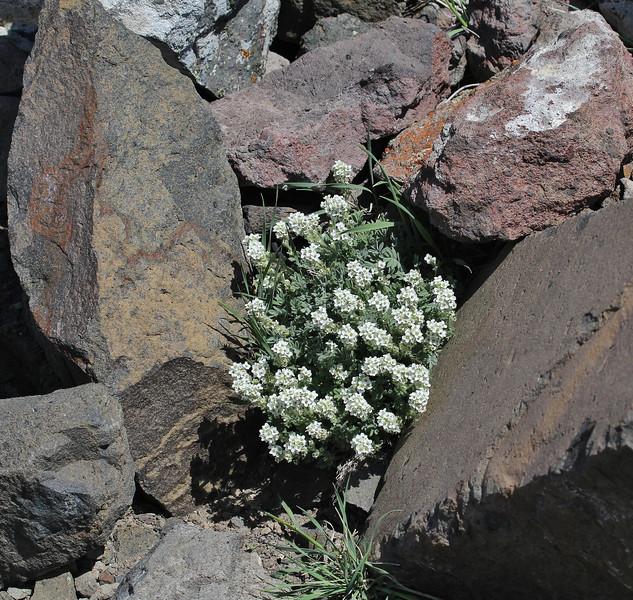 Smelowskia calycina, Alpine Smelowskia, Mount Washburn 3152m.