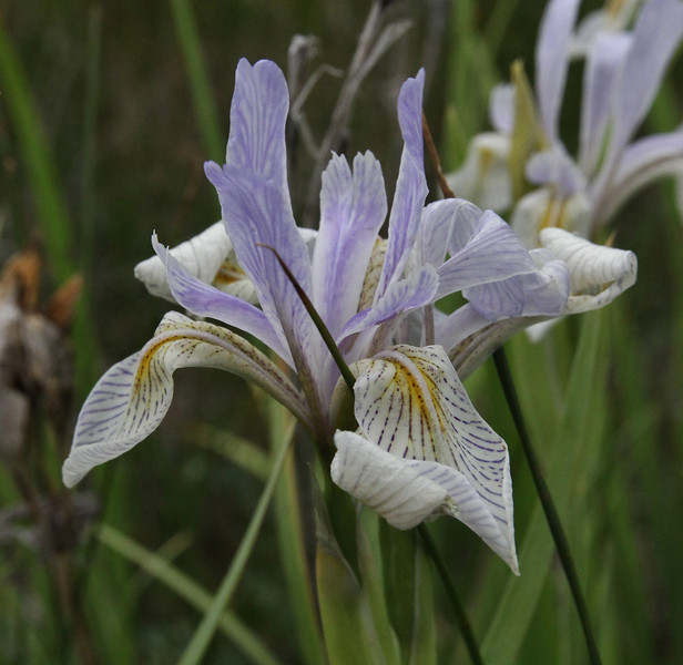 Iris missouriensis, Missouri Iris.