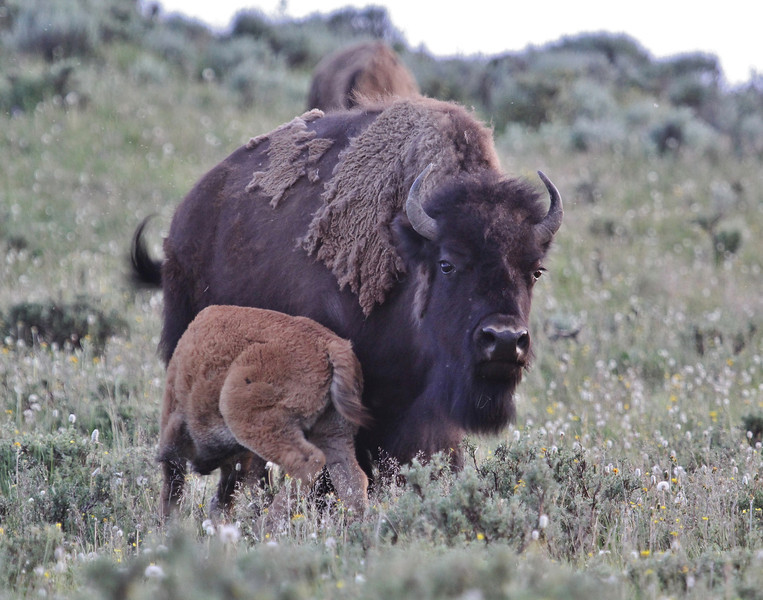 """Bison bison, cow and calf of the American Bison """"Buffalo""""."""