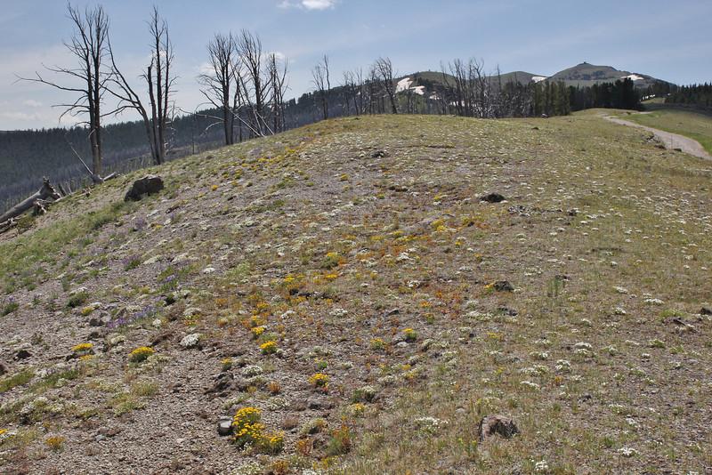 Habitat near Mount Washburn 3152m.