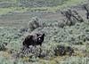 Ursus americanus, Black Bear, cub.