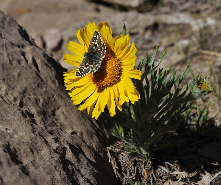 Epargyreus clarus on Hymenoxys grandiflora, Silver-Spotted Skipper on  Alpine sunflower.