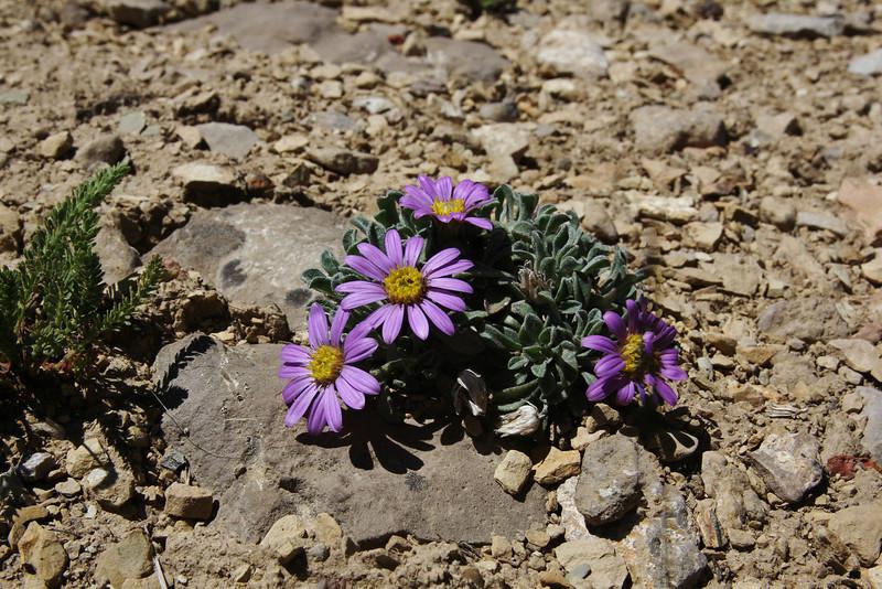 Townsendia alpigena ssp. alpigena,