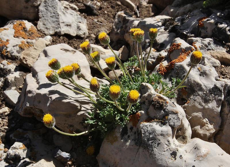 Erigeron compositus, Cut-leaved Fleabane, Note: plant without ray florets. Bridger-Teton National Forest.